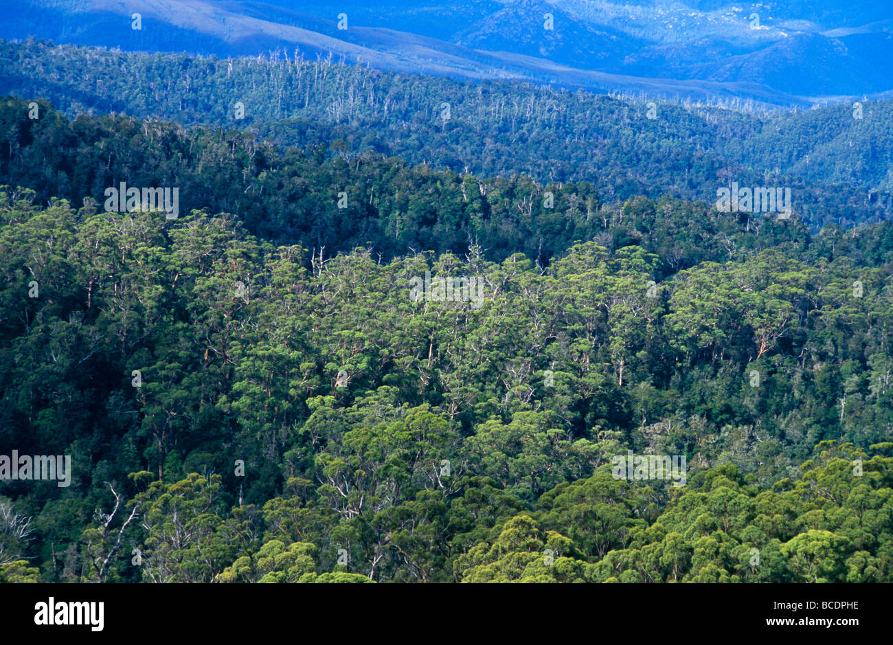 Dappled sunlight falls over a vast Wet Eucalypt Forest. - Stock Image