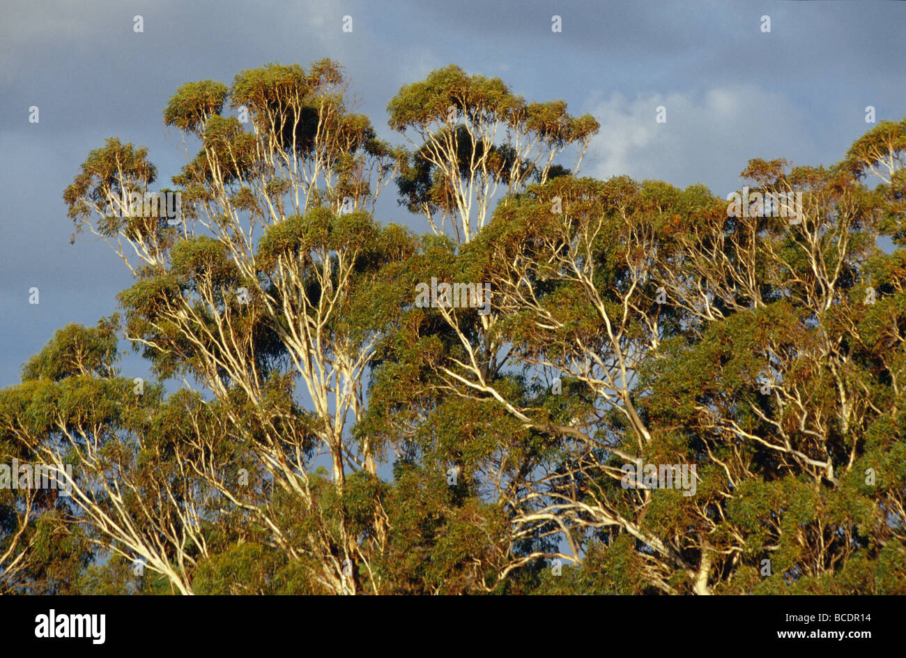Sunset falls over a stormy sky and Eucalypt forest canopy. - Stock Image