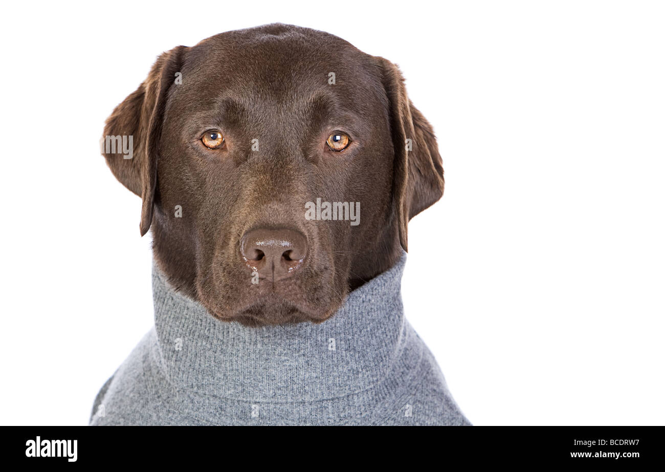Isolated Shot of a Handsome Chocolate Labrador in Grey Jumper - Stock Image