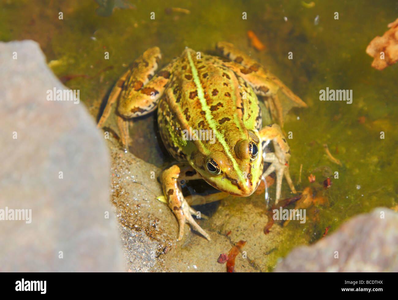 Green edible frog Rana esculenta - Stock Image