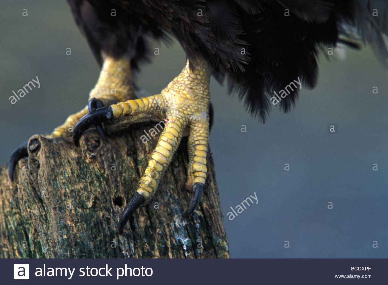 American Bald eagle talons. - Stock Image