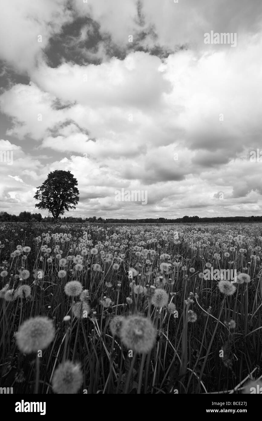 Field Of Dandelions Black And White Stock Photos Images