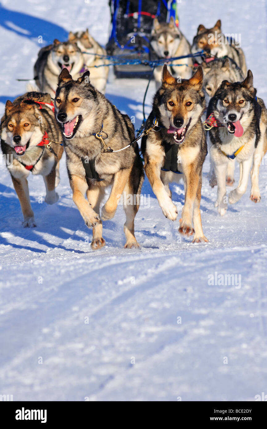 Details of a sled dog team in full action heading towards the camera - Stock Image