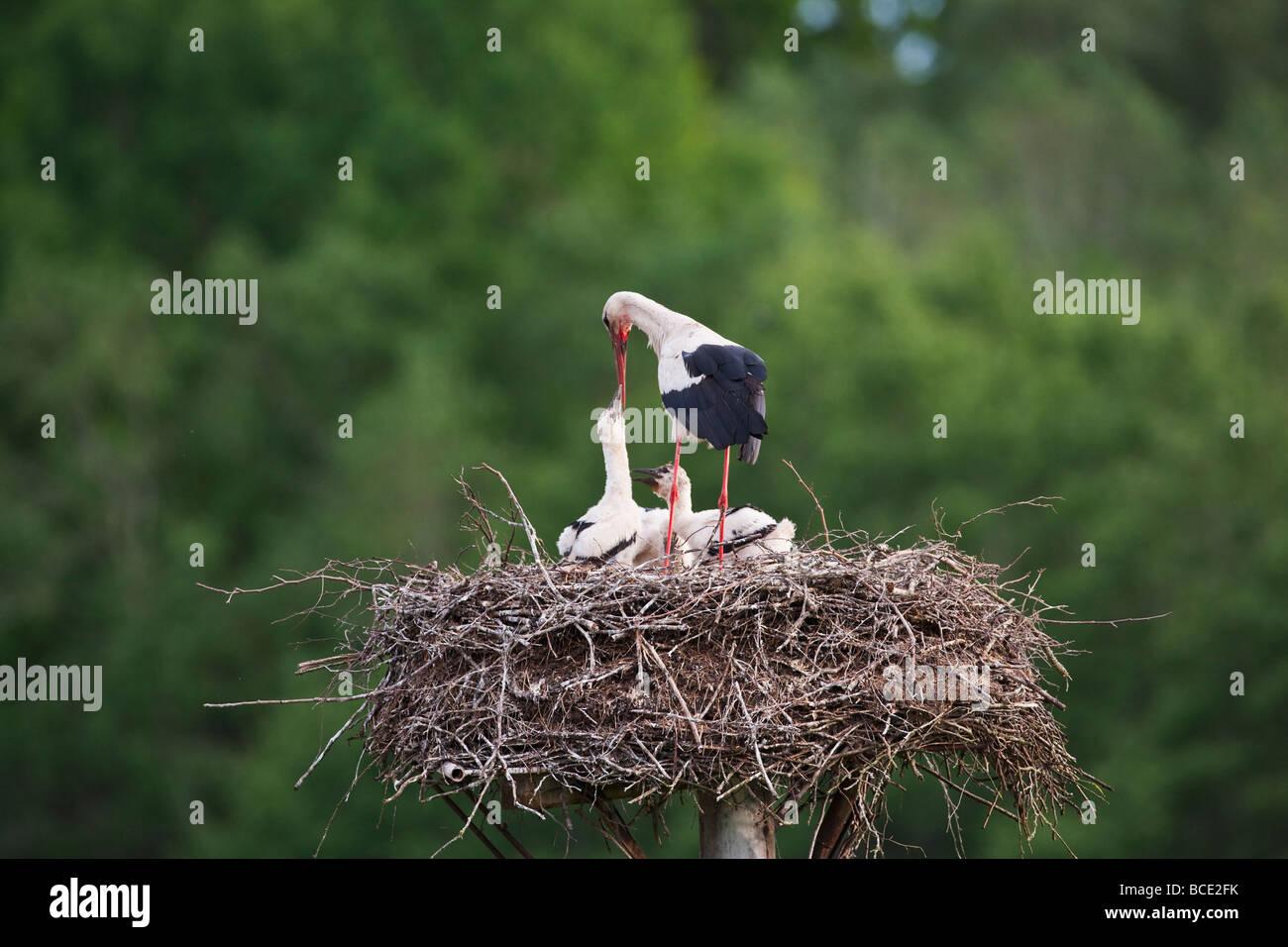White stork on nest Stock Photo