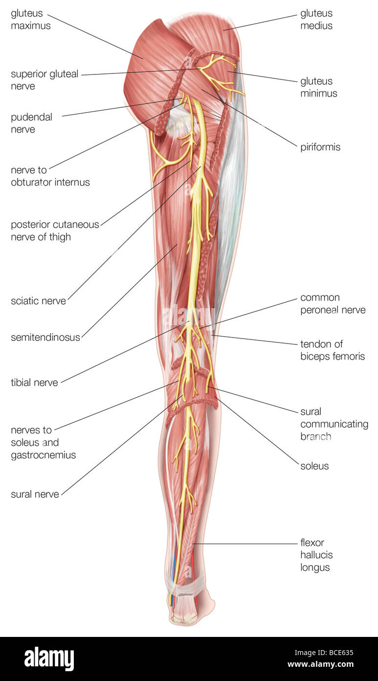 Posterior Thigh & Popliteal Fossa at University of ...