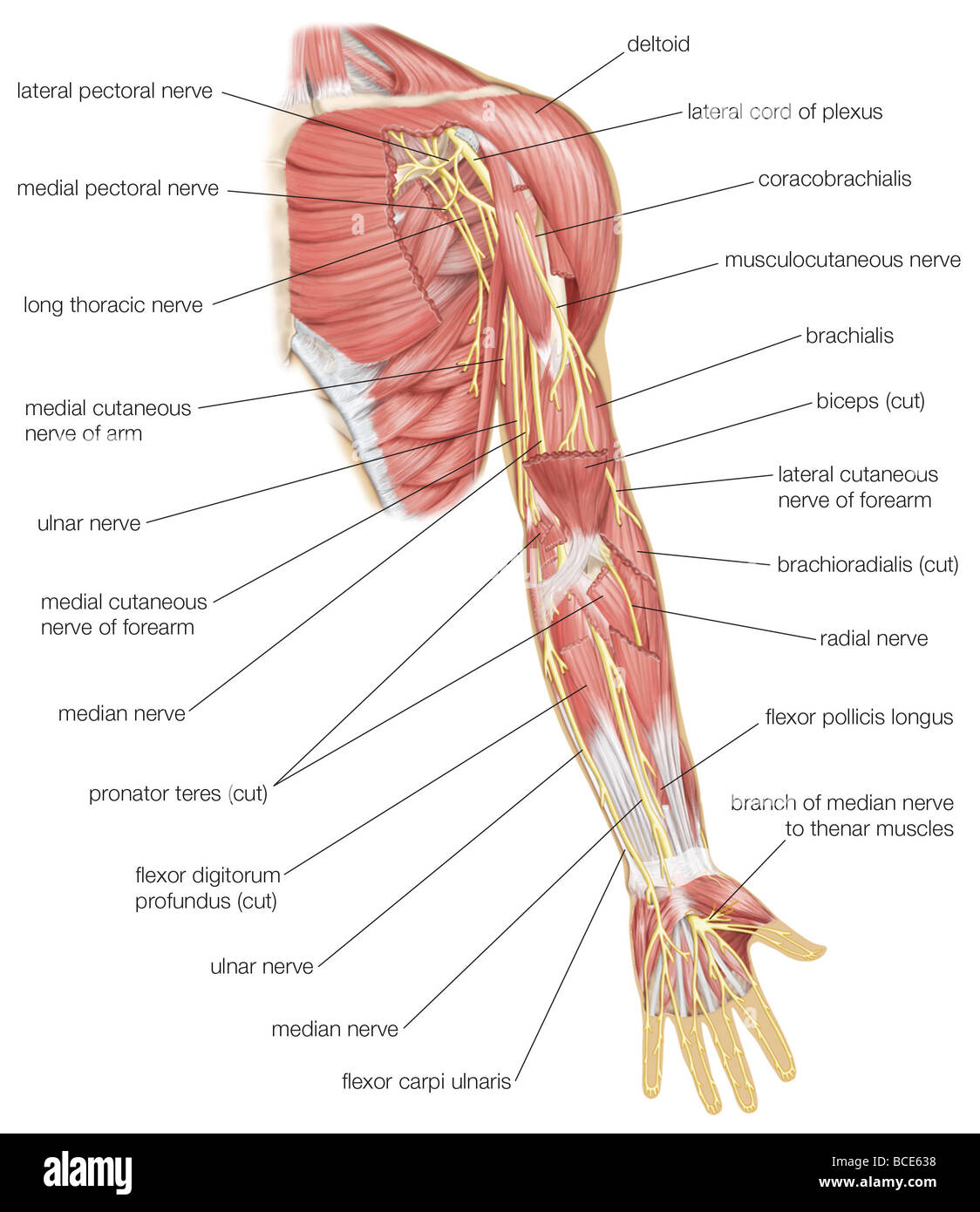 Anterior view of the left arm, showing median, ulnar, and radial ...