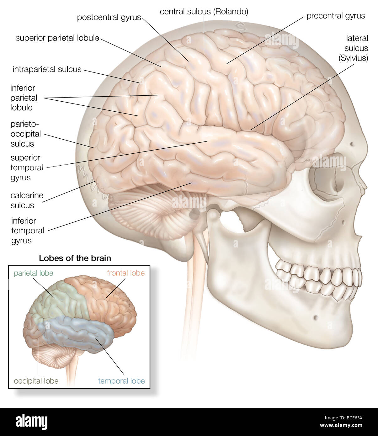 The right hemisphere of the human brain, shown in situ within the ...
