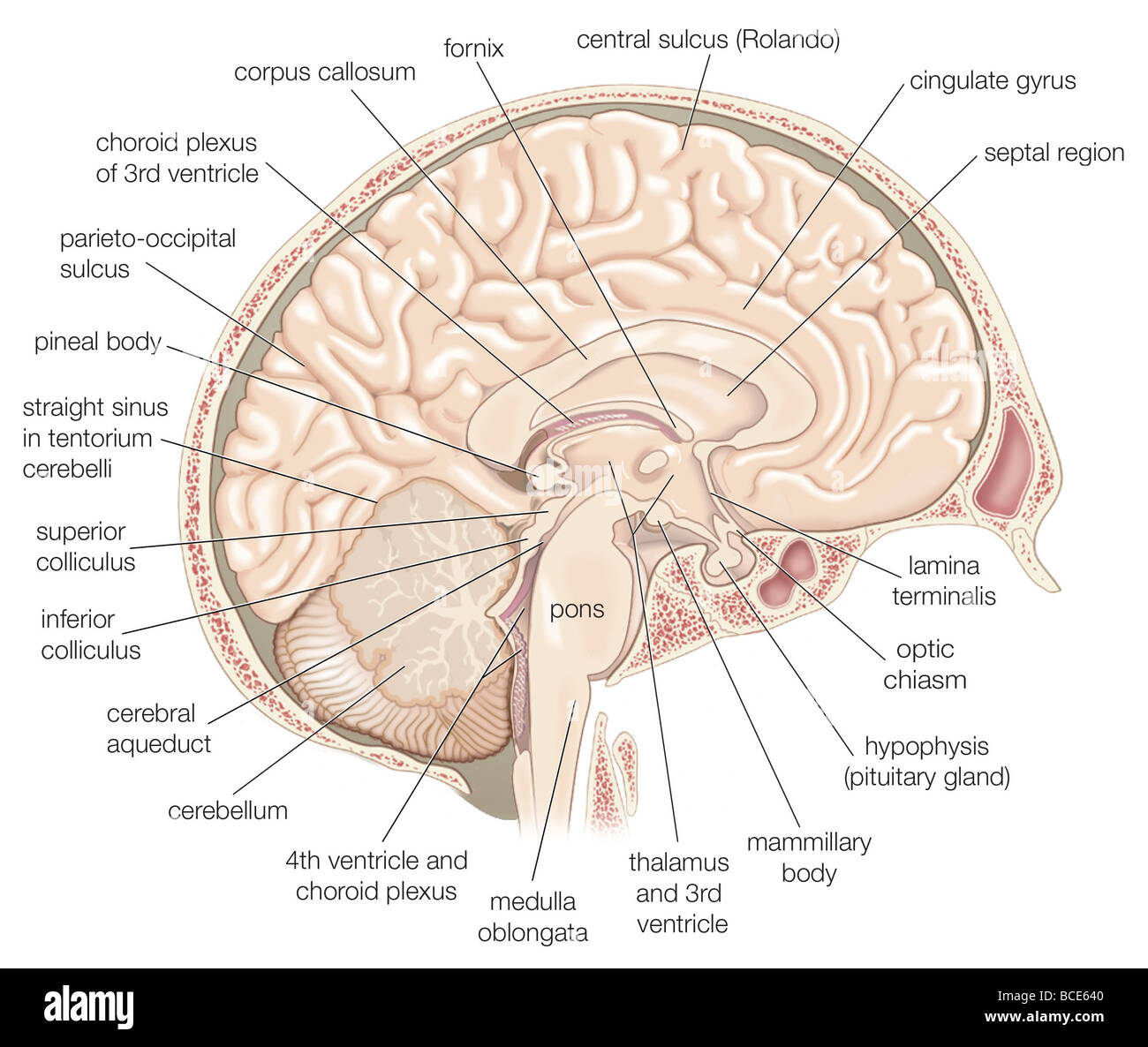 Brain inferior view stock photos brain inferior view stock images medial view of the left hemisphere of the human brain stock image ccuart Images