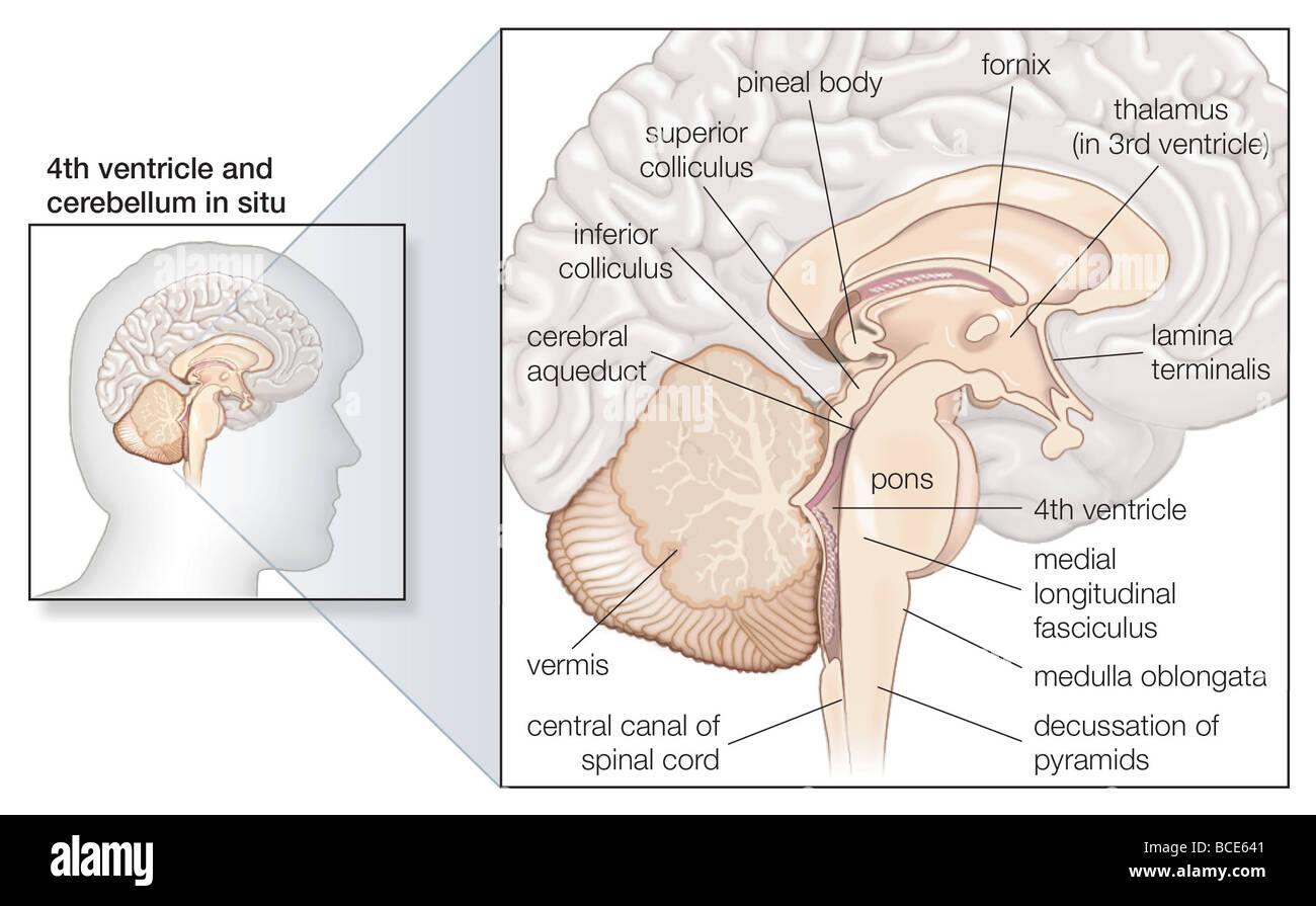 Sagittal section of the human brain, showing structures of the Stock ...