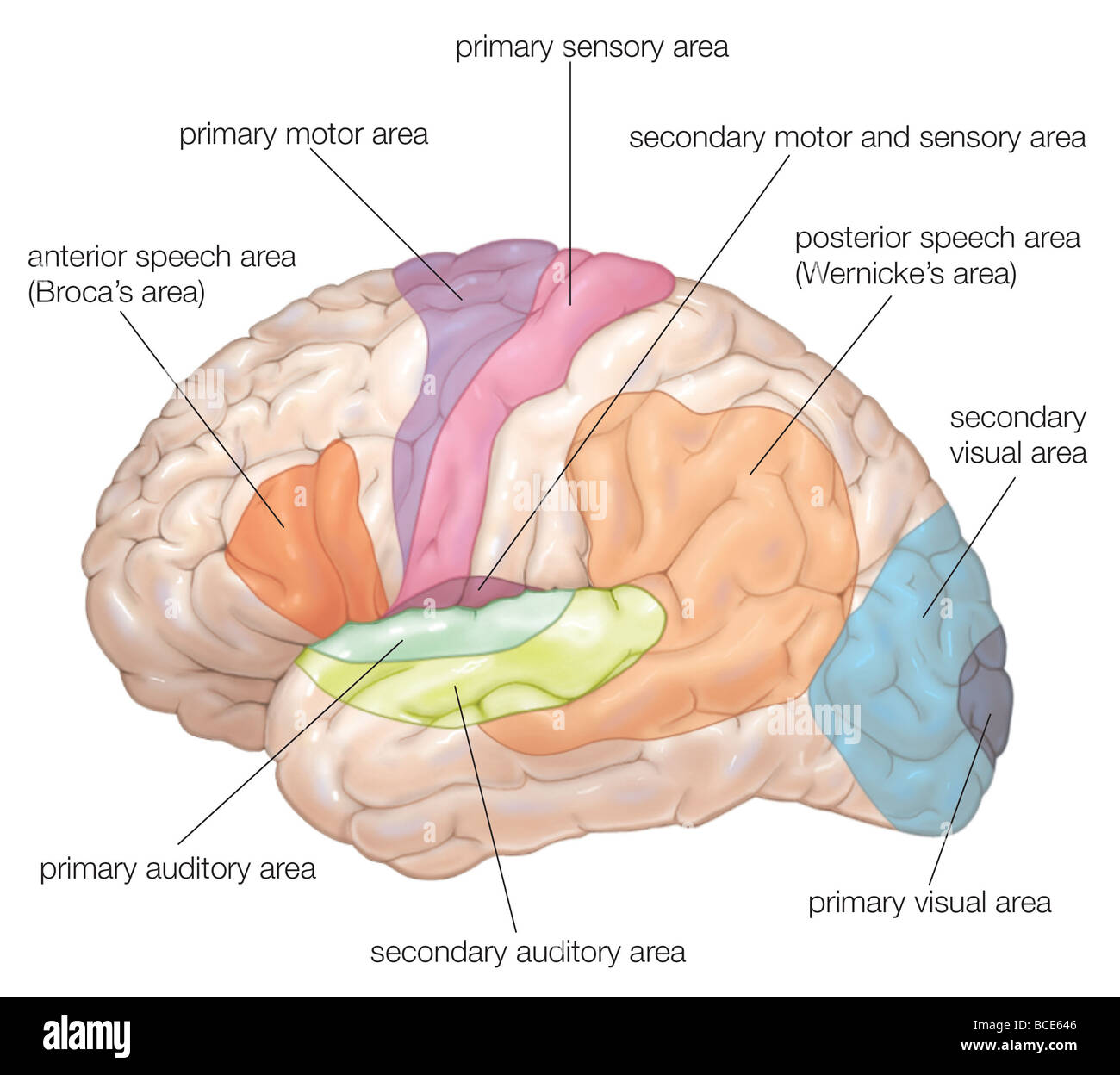 Diagram of the lateral view of the human brain, showing the functional areas (motor, sensory, auditory, visual, - Stock Image