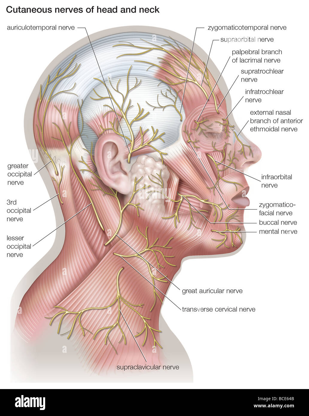 Diagram of the cutaneous nerves of the head and neck. - Stock Image