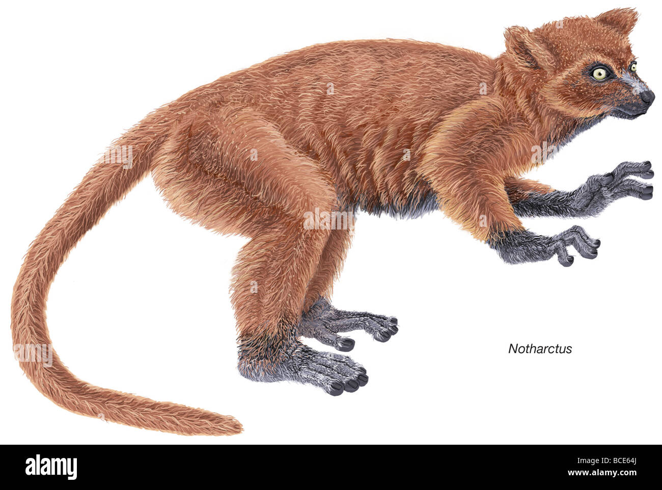 Notharctus, an extinct genus of small primates from the Eocene Epoch that shares many similarities with modern lemurs. - Stock Image