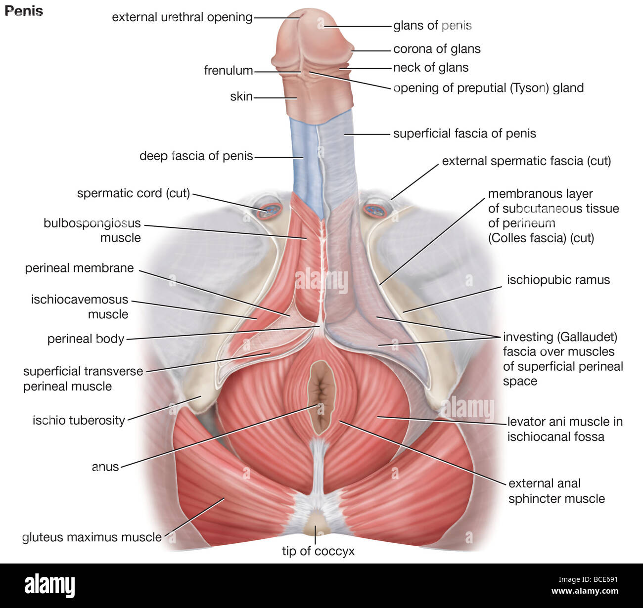 Diagram of penis in anal