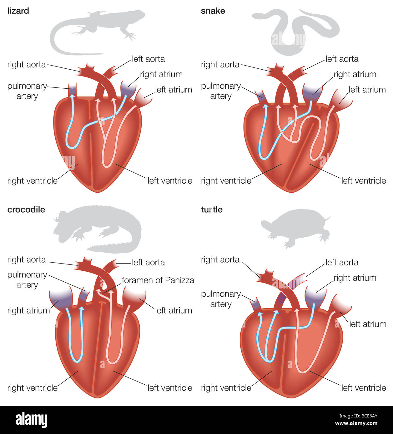 Types of reptilian hearts: lizard, snake, crocodile, and turtle ...