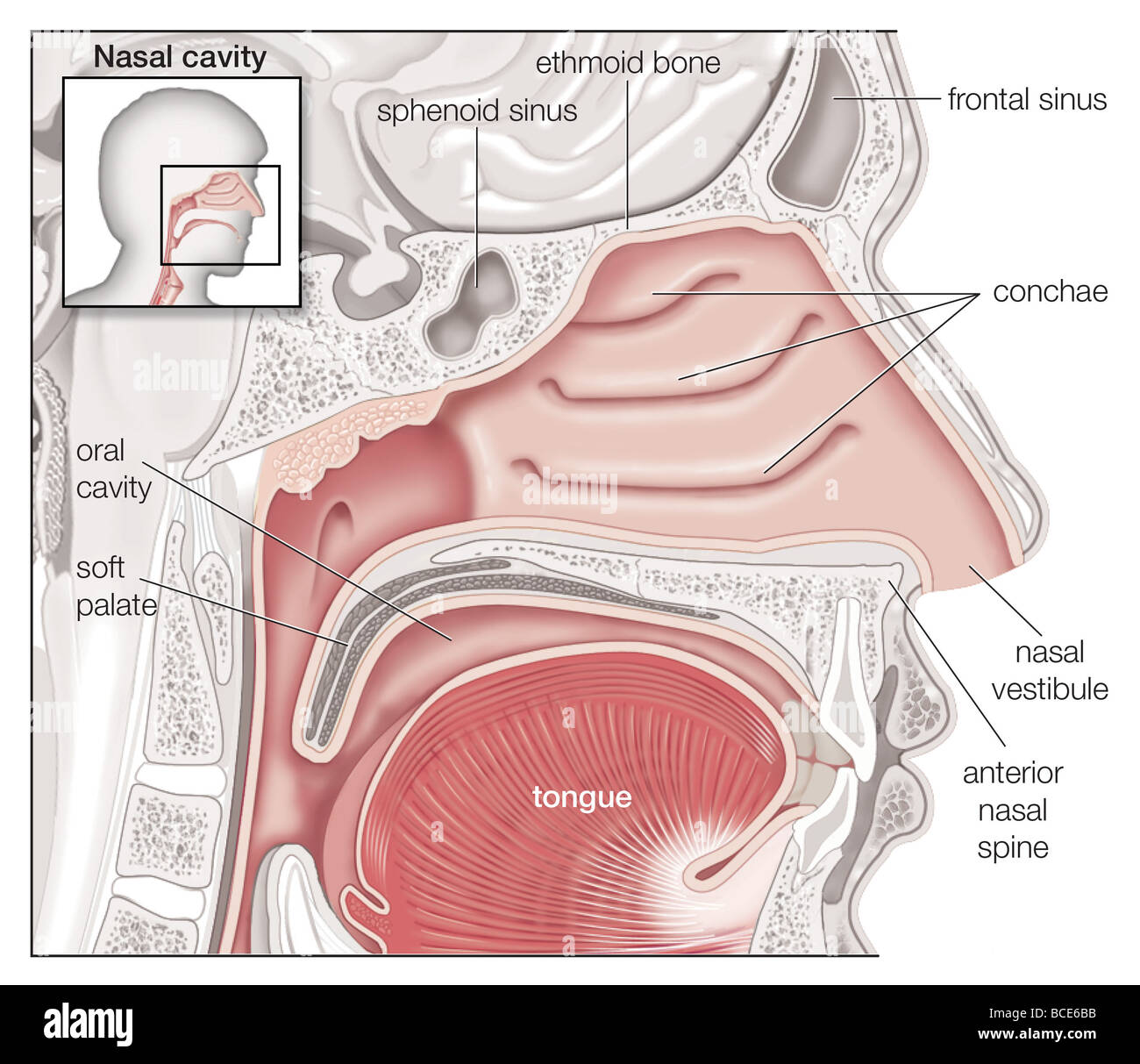 Sagittal View Of The Human Nasal Cavity Stock Photo 24898591 Alamy