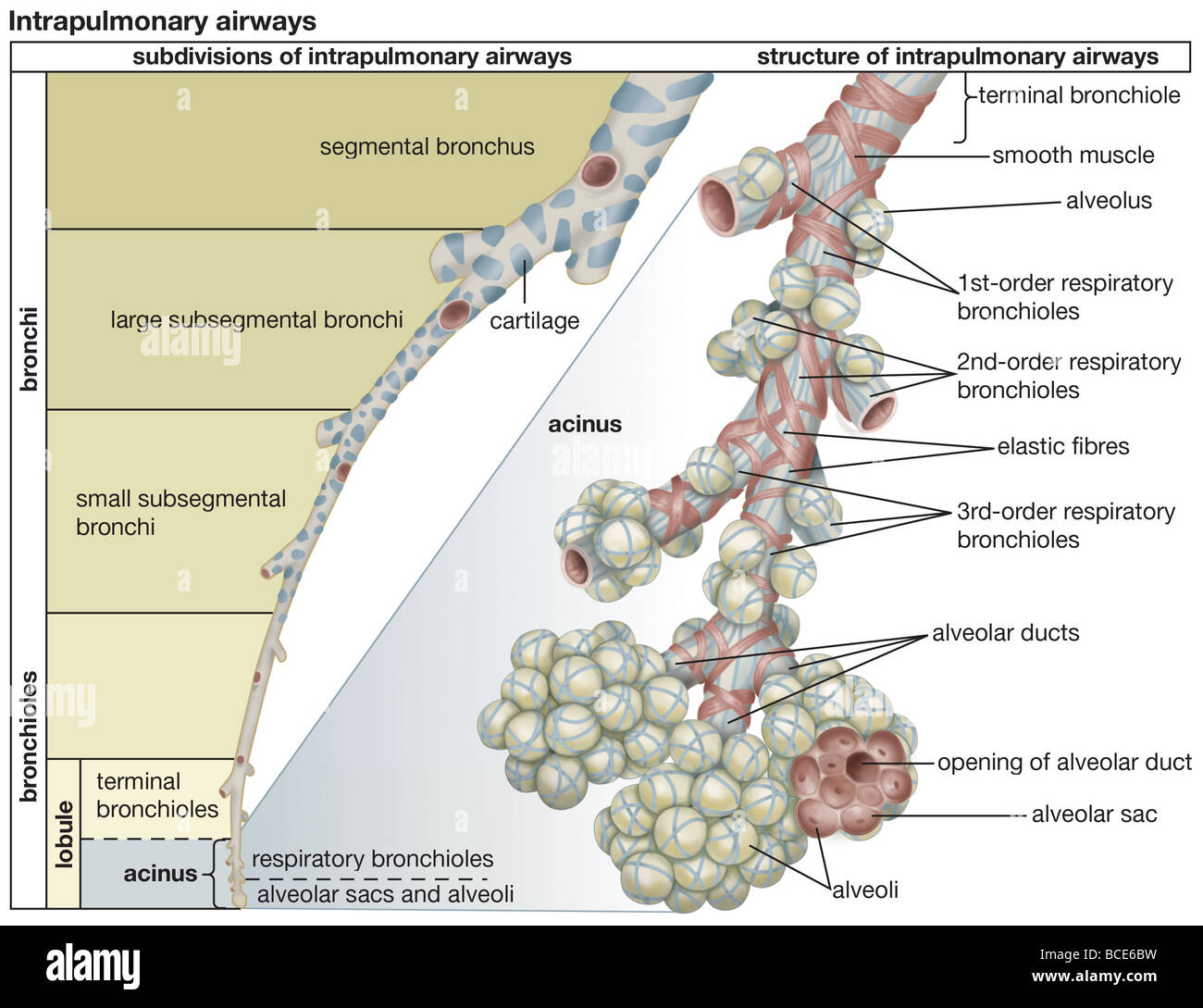The subdivisions and structure of the human intrapulmonary airways ...