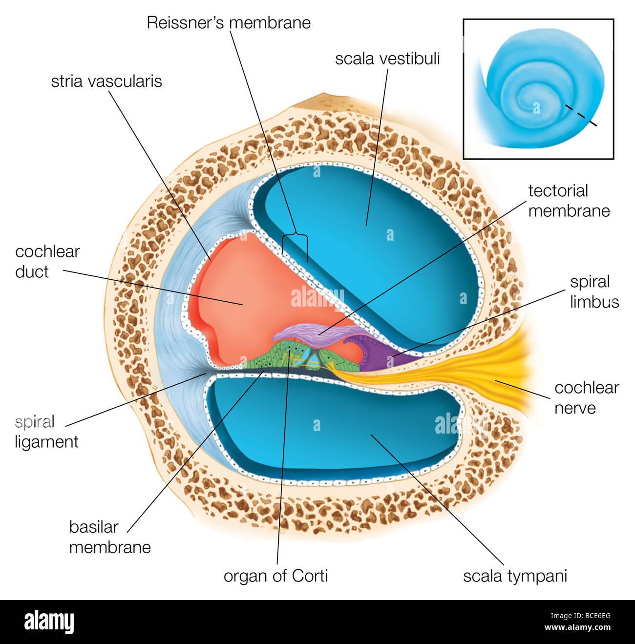 A Cross Section Through One Of The Turns Of The Cochlea Showing The