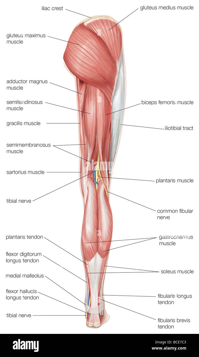 Posterior view of the human right leg, showing the muscles of the ...