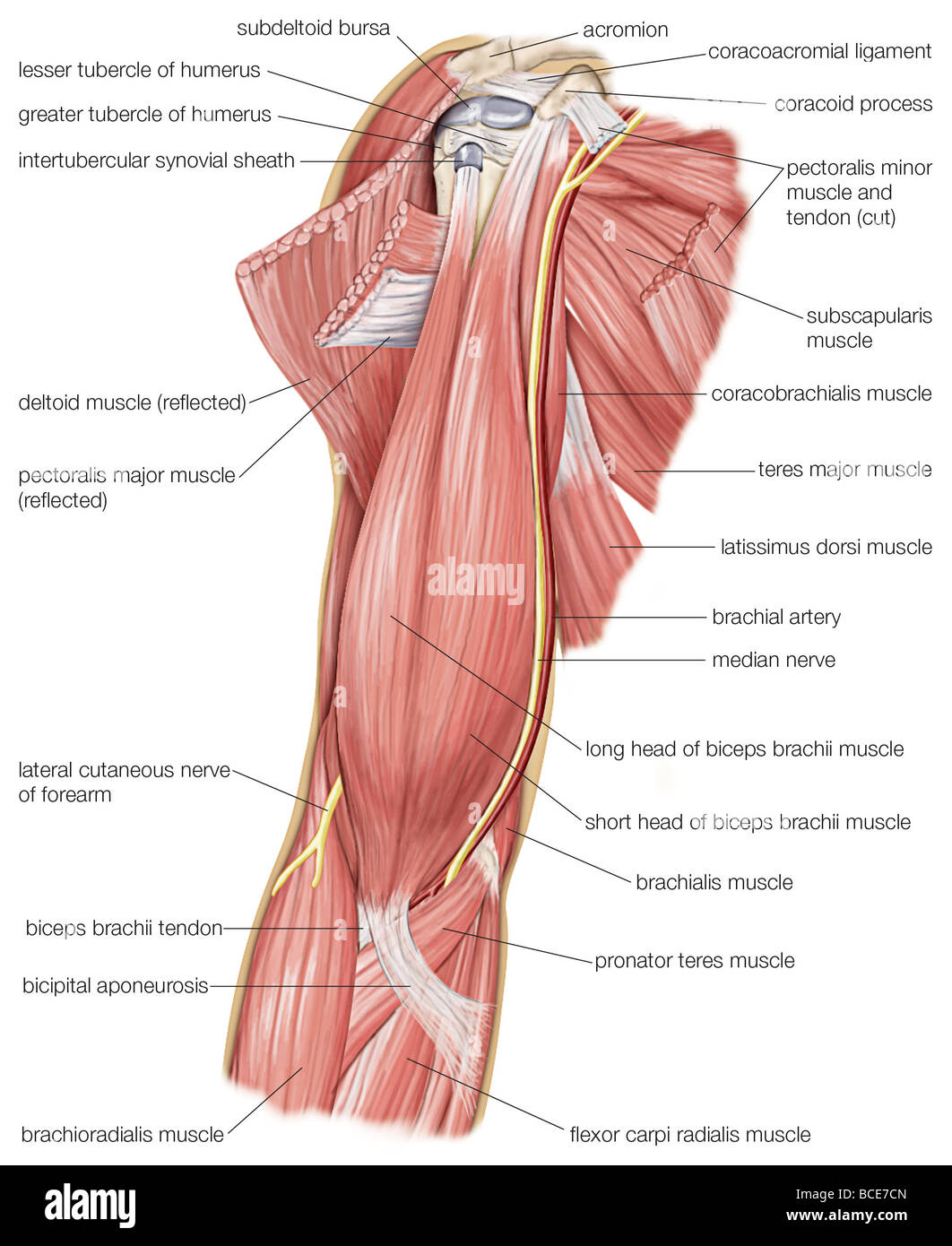 The muscles of the human upper arm, as well as the cutaneous nerve ...