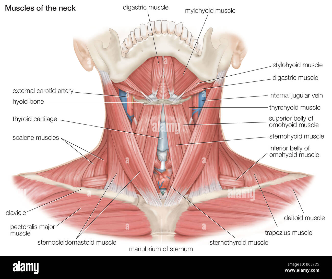 The Muscles Of The Human Neck As Well As The Major Bones And Blood