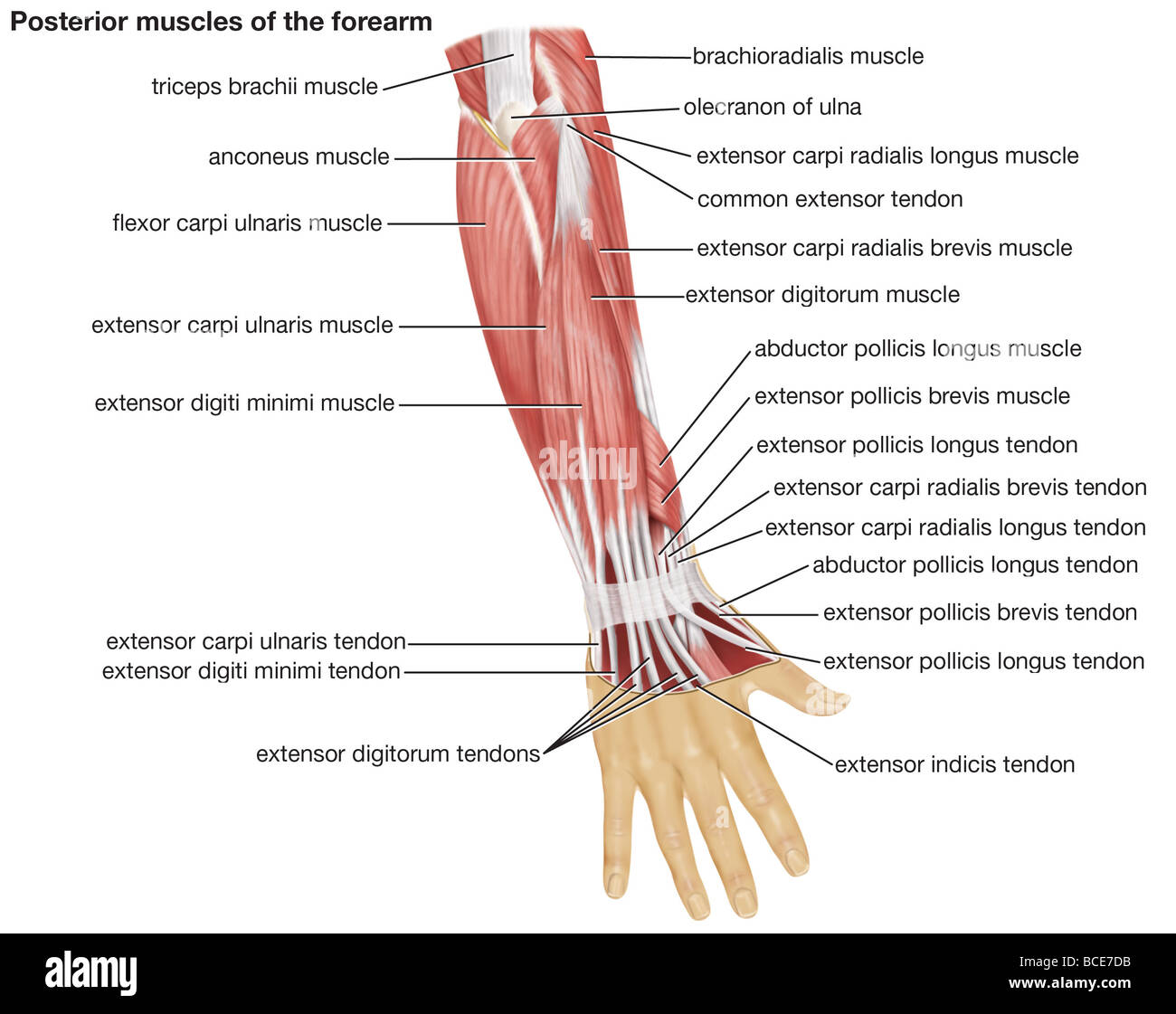 The posterior view of the muscles of the human forearm Stock Photo ...