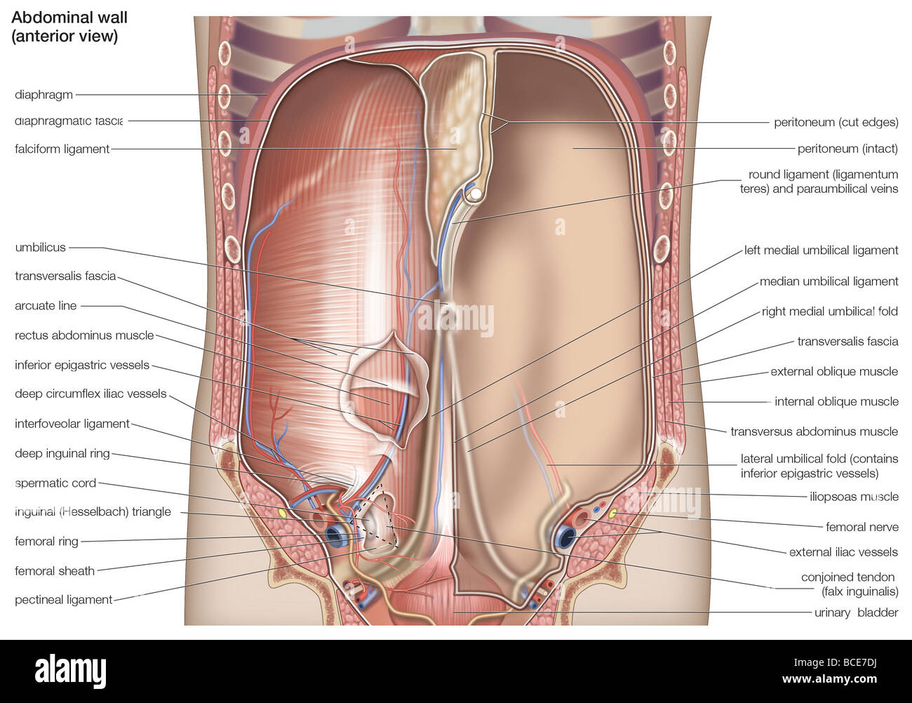 Anterior view of the human abdominal cavity. - Stock Image