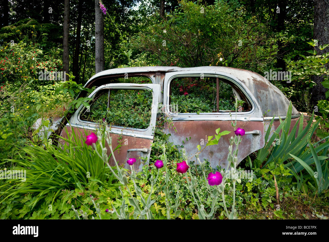 abandoned car with bushes growing through: the triumph of nature - Stock Image