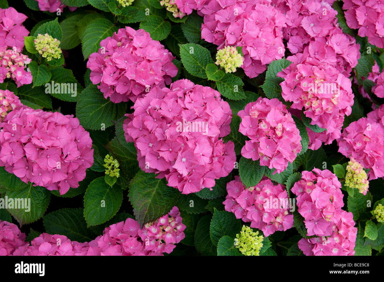 Pink Hydrangea shrub in full bloom - Stock Image
