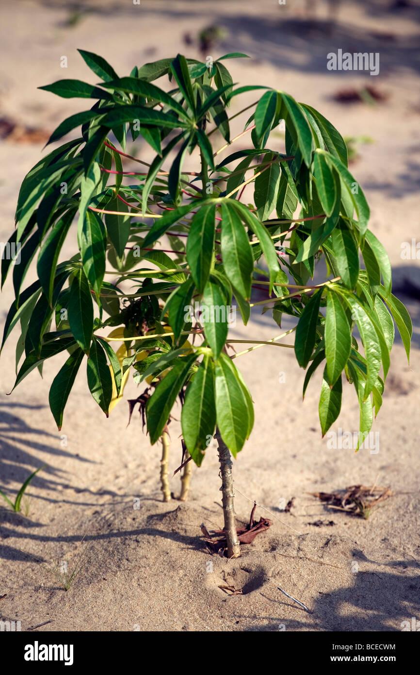 Mozambique, Inhaca Island. A young mandioca plant on the Island of Inhaca. Stock Photo