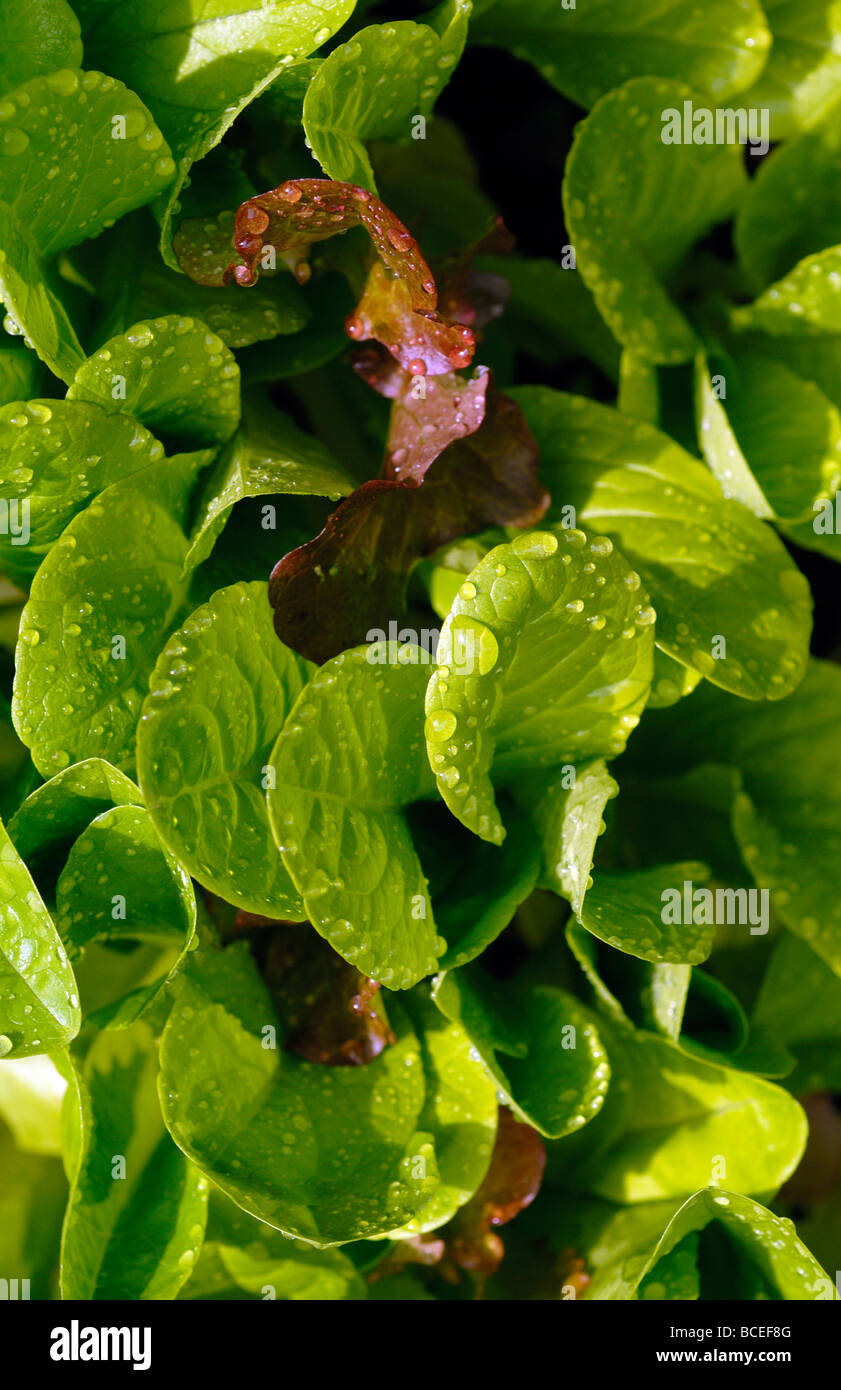 GROWING MIXED SALAD LEAVES - Stock Image