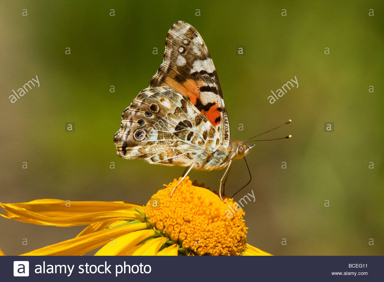 Painted Lady Vanessa cardui Butterfly Nymphalidae Subfamily Nymphalinae Stock Photo