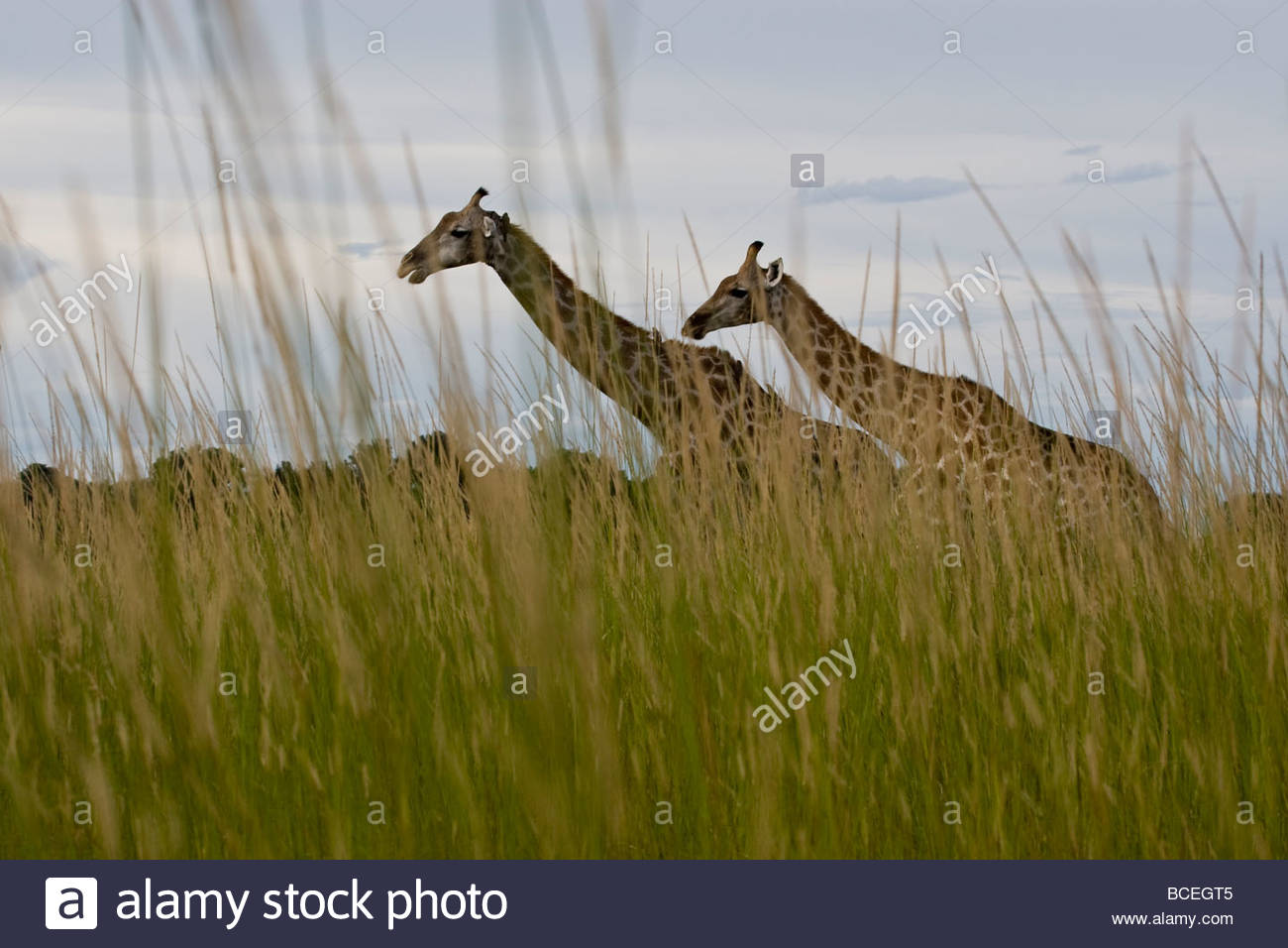 Two giraffes walking through tall grass and bushes Stock Photo