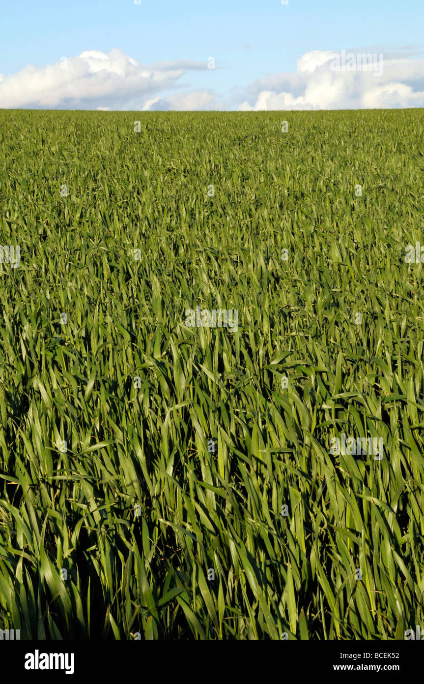 wheat field farm northumberland summer crop arable sky clouds - Stock Image