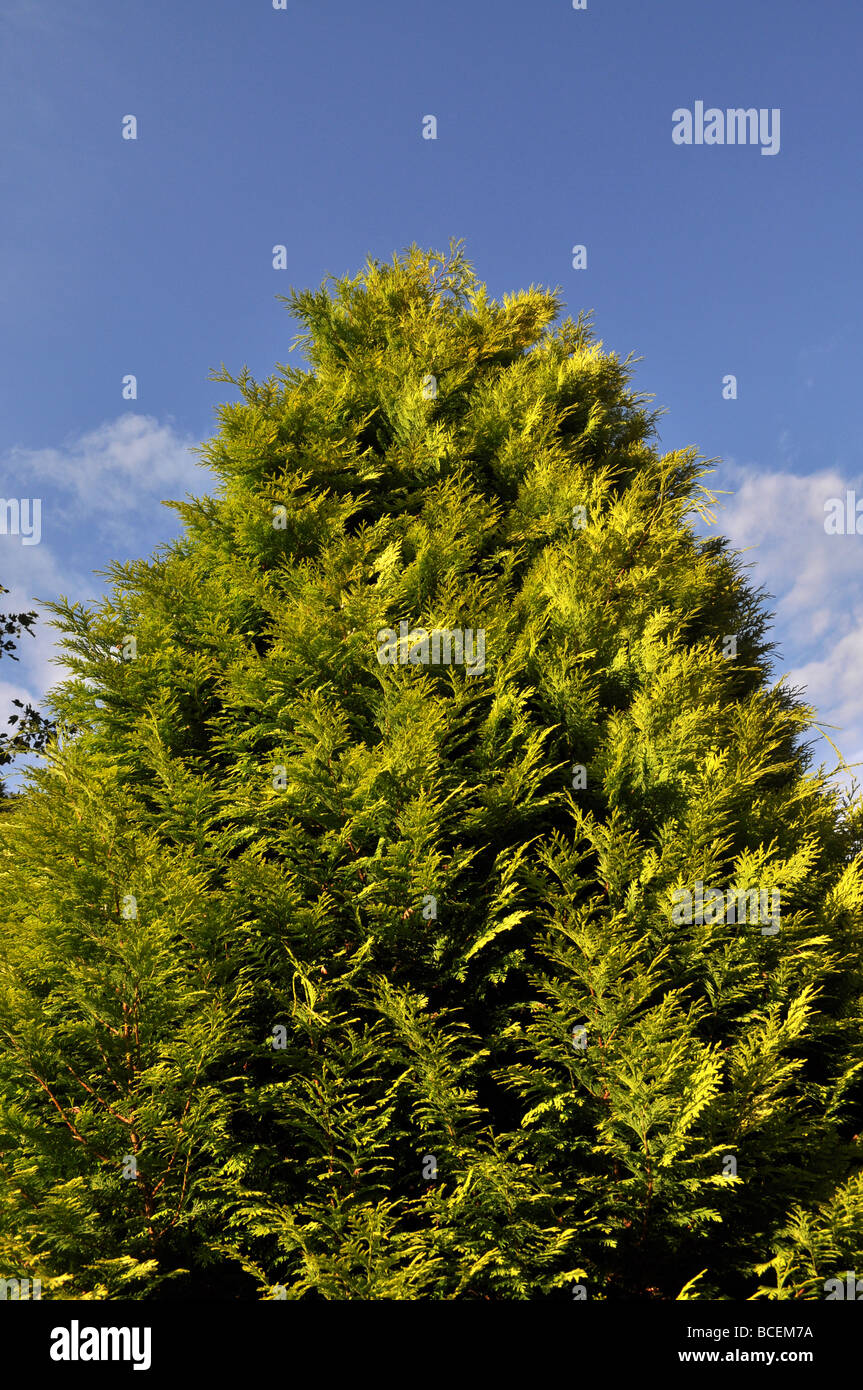 Fern Tree Leylandii Fast Growing Shrub Garden Dispute Neighbour Stock Photo Alamy