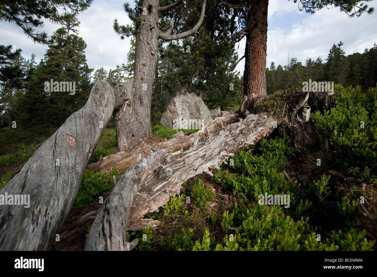 Niederhorn Beatenberg Berner Oberland Schweiz habitat for black grouse with spruce and pine trees - Stock Image