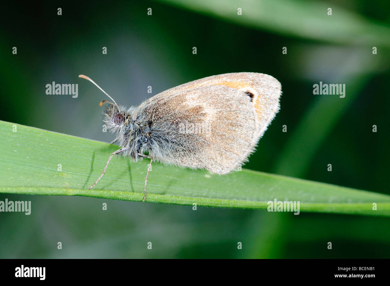 butterfly Small Heath Coenonympha pamphilus - Stock Image