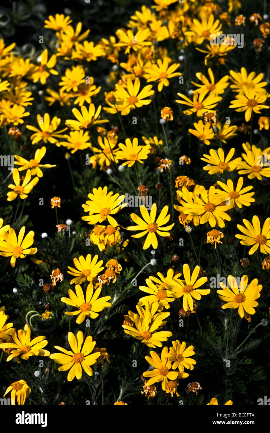 Daisy like flower stock photos daisy like flower stock images alamy euryops pectinatus is a daisy like flower that blooms in rich yellows stock image izmirmasajfo