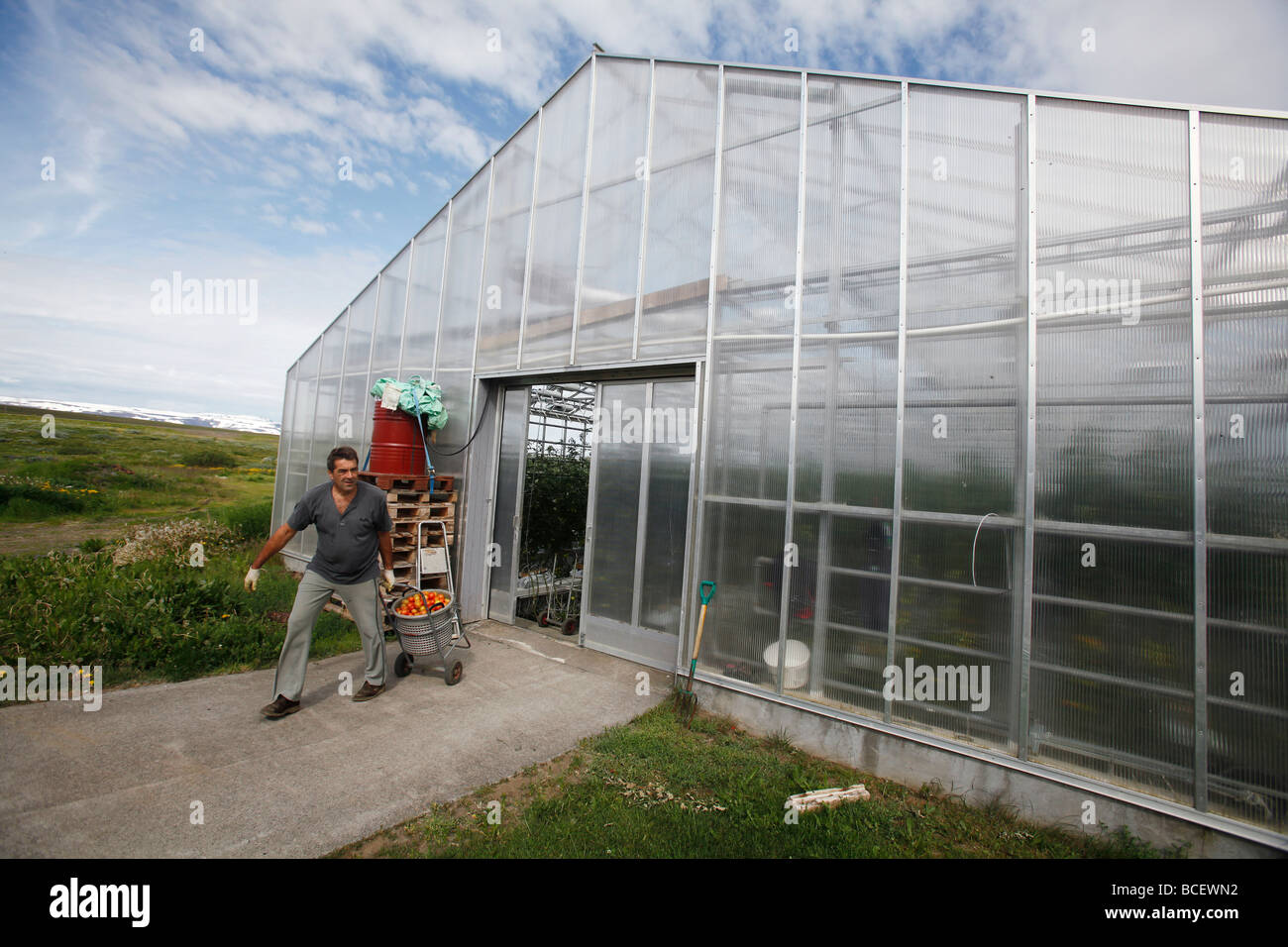 Greenhouse worker with harvested tomatoes, geothermally heated greenhouse, Iceland - Stock Image