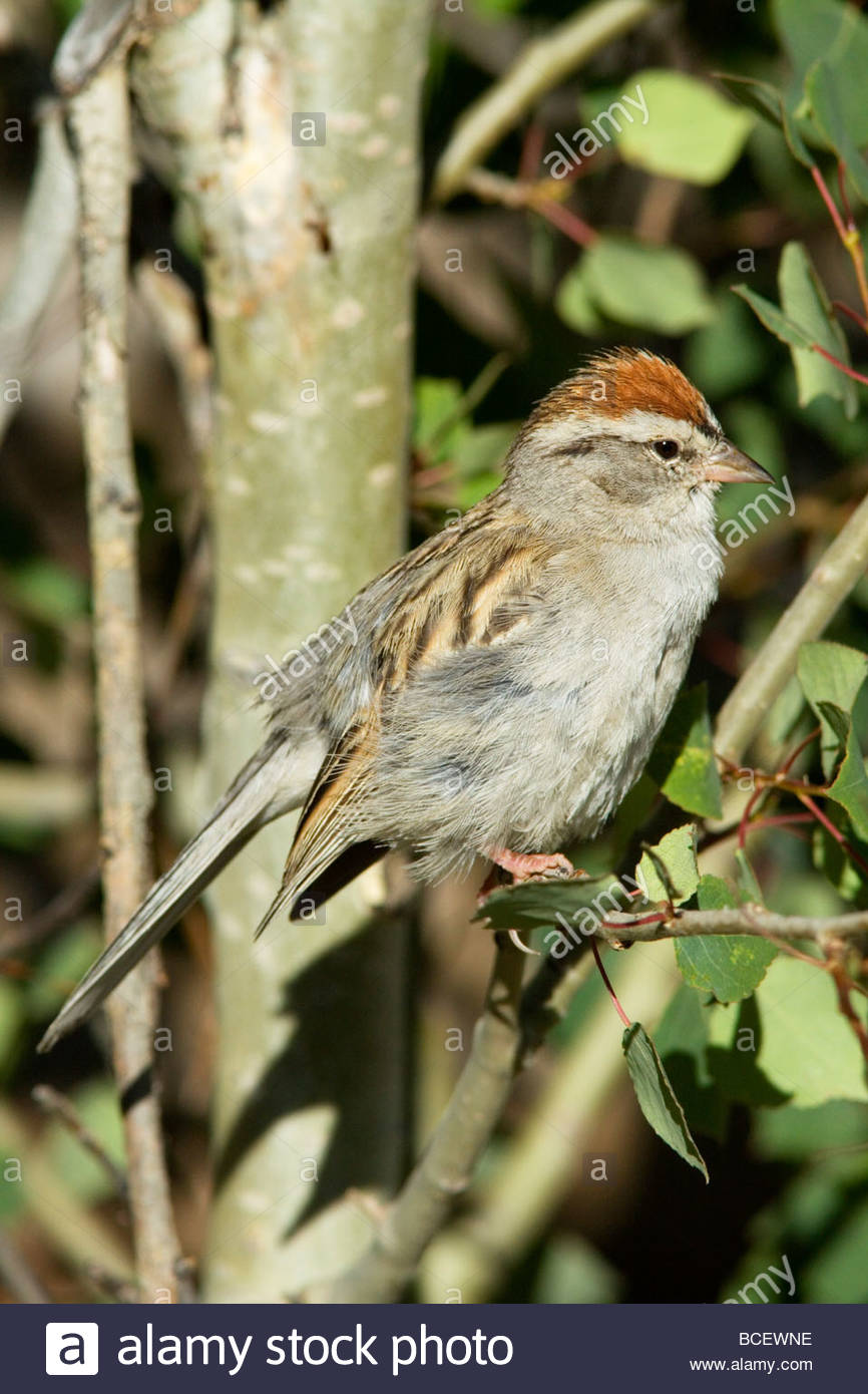 Chipping Sparrow Spizella passerina - Stock Image