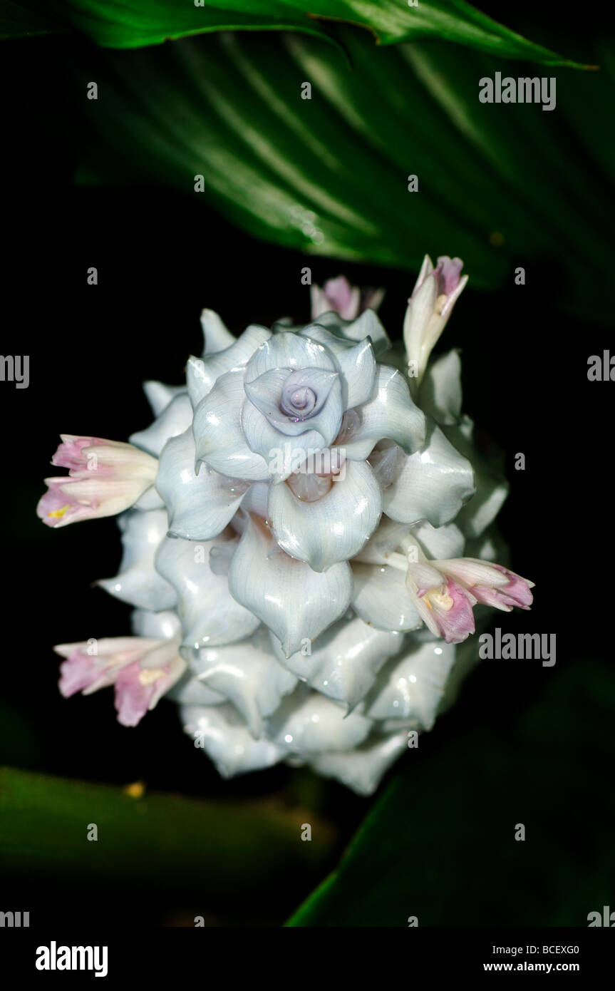 Tropical Flower White Ginger Stock Photo 24914400 Alamy
