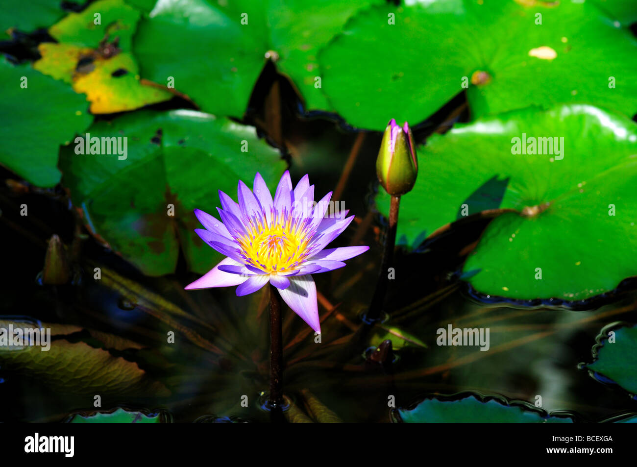 Waterlily Flowers In A Pond Stock Photos Waterlily Flowers In A