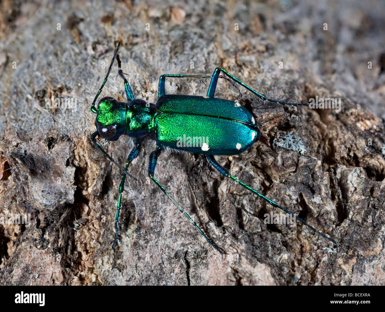 Six Spotted Green Tiger Beetle Cicindela sexguttata - Stock Image