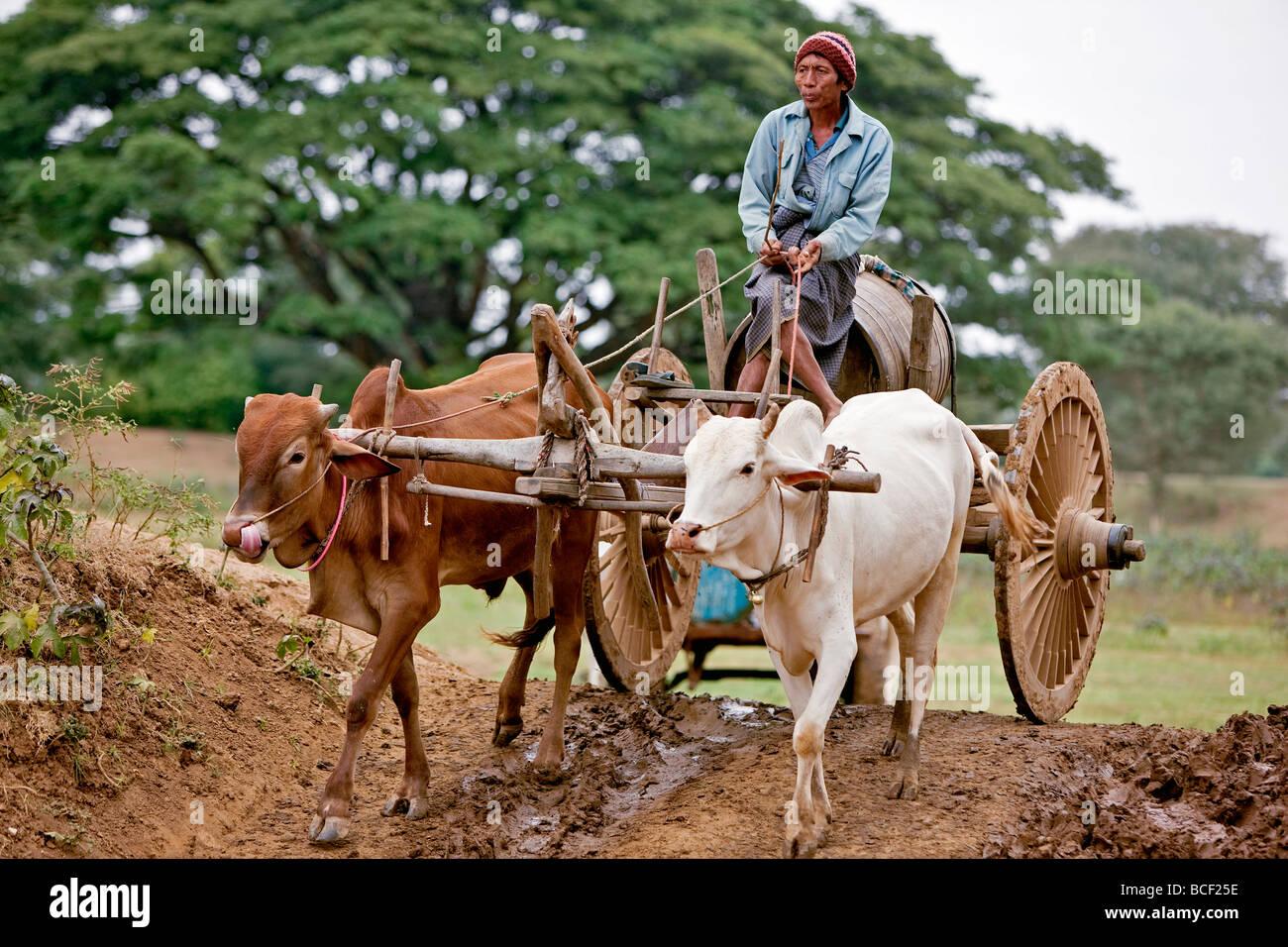 Myanmar. Burma. Bagan. A Burmese man drives his ox cart to a dam to collect water in a locally made wooden barrel. - Stock Image