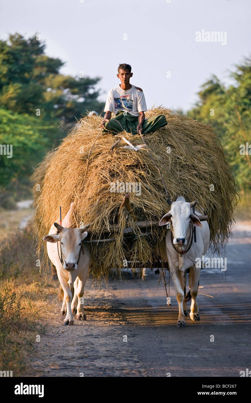 Myanmar. Burma. Bagan. A farmer takes home an ox-cart load of rice straw for his livestock . - Stock Image