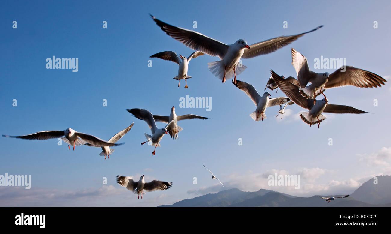 Myanmar, Burma, Lake Inle. Seagulls flying over Lake Inle. - Stock Image