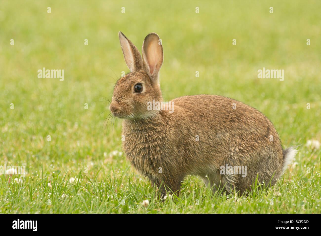 a young alert rabbit - Stock Image