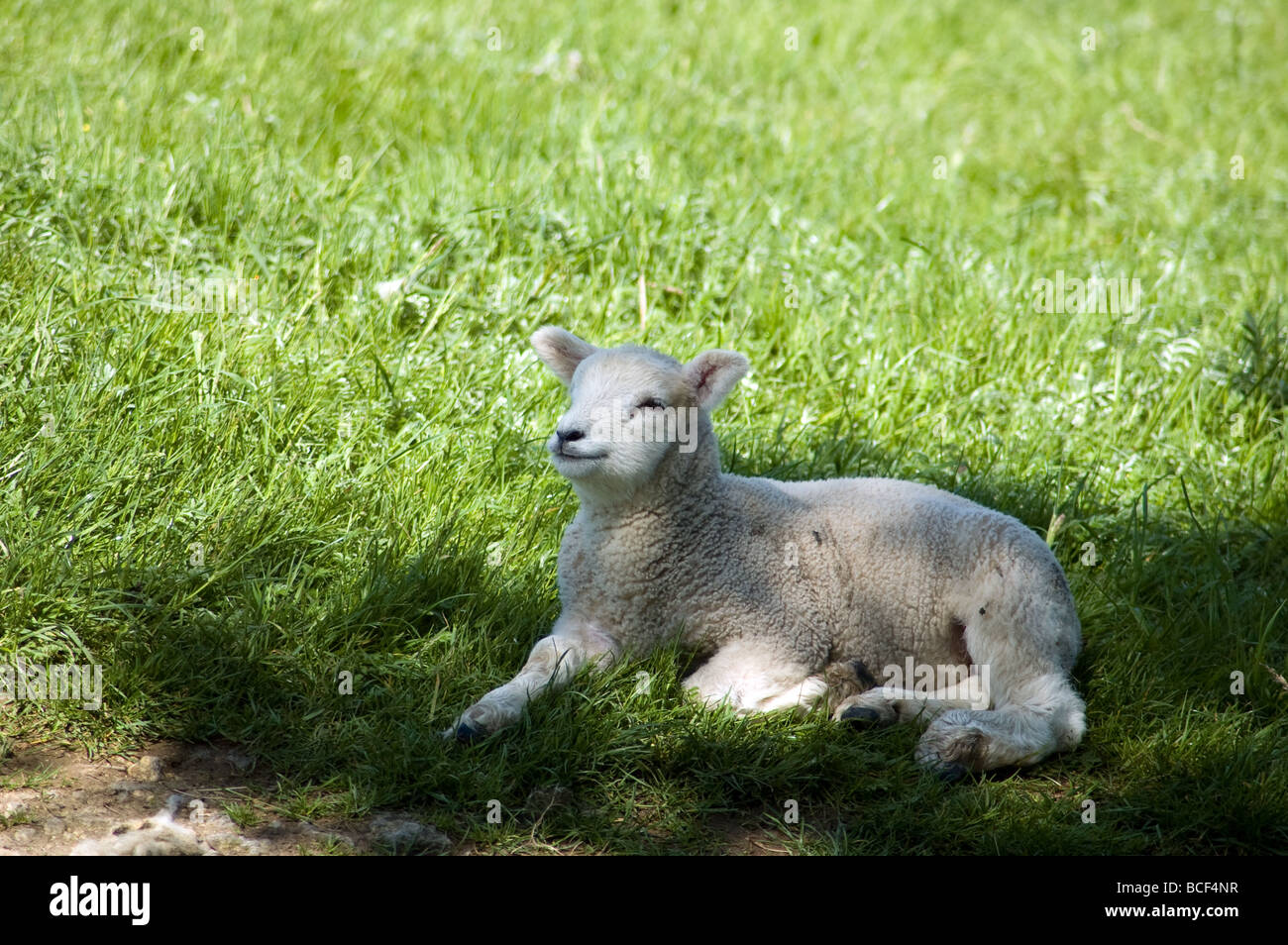 lamb laying in the shade. Stock Photo