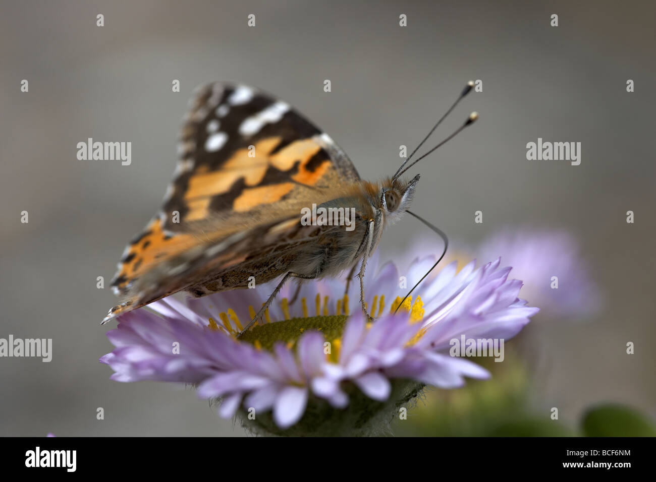 Painted Lady Vanessa cardui butterfly nectaring on the island of Alderney Channel Islands UK - Stock Image