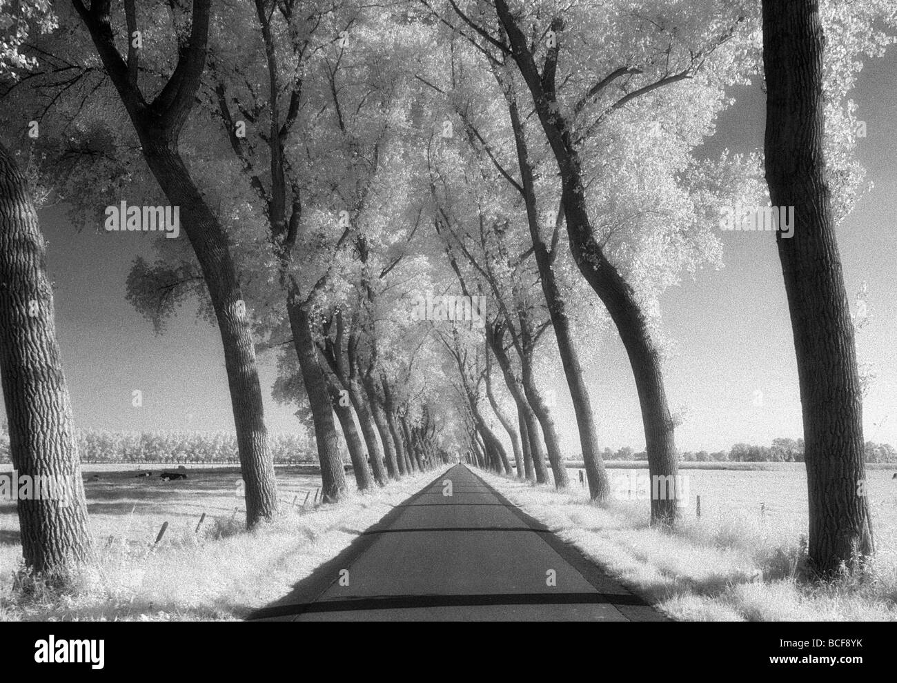 A tree lined road through farmland in Damme Belgium Shot on Kodak Infrared Film known for high grain and drum scanned - Stock Image