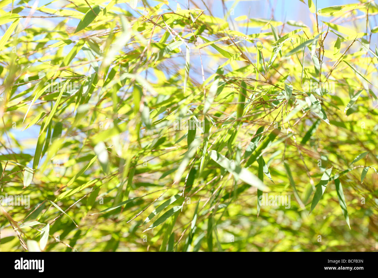 free flowing bamboo plants with beautiful lime coloured leaves Jane Ann Butler Photography JABP435 - Stock Image